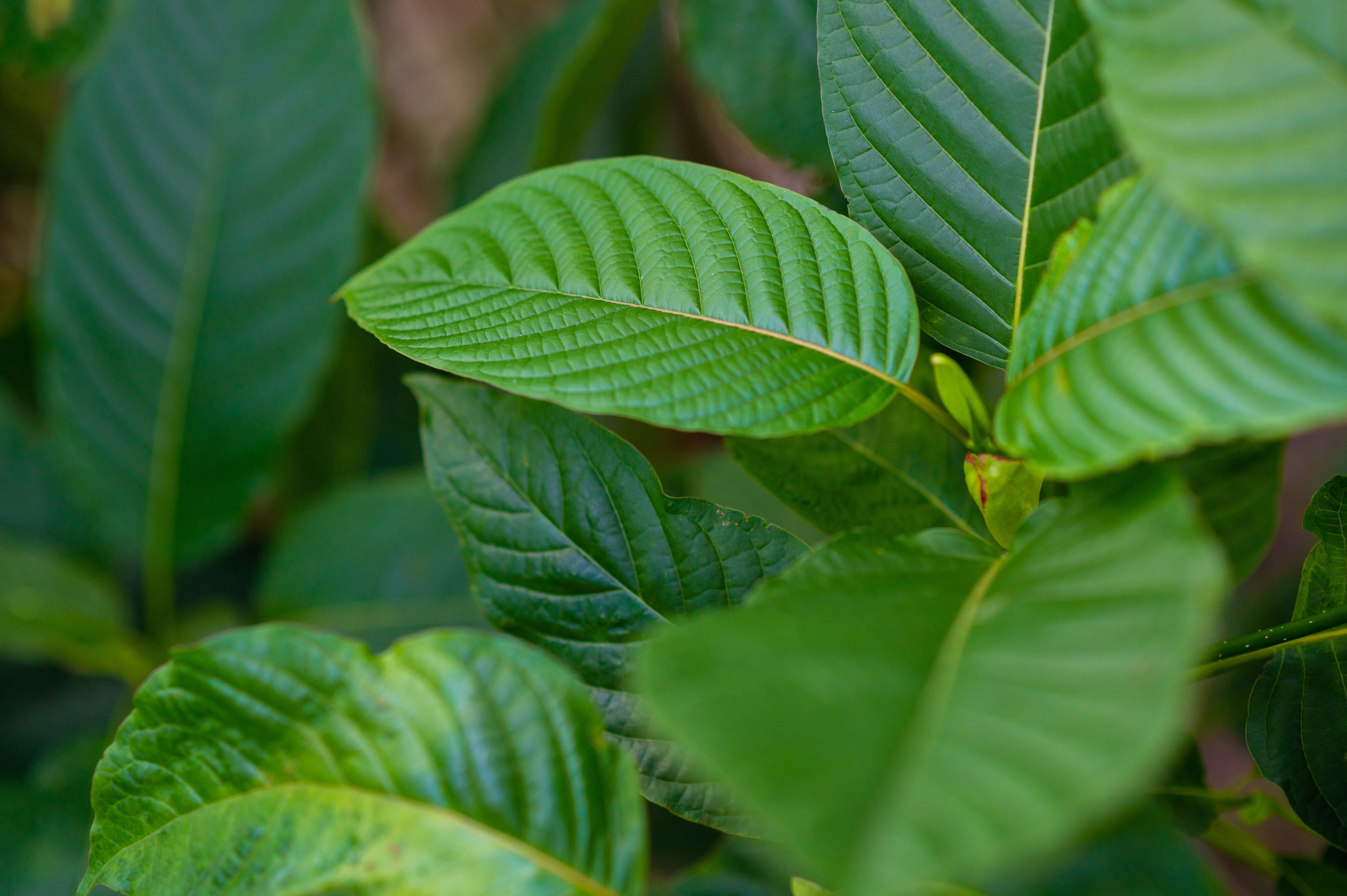 What Are the Origins of Kratom?